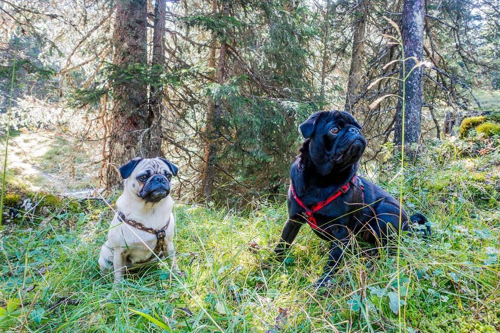 Wandern mit Mops