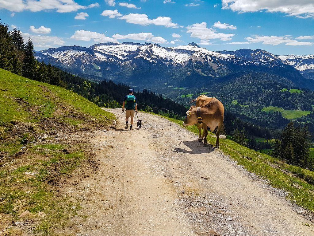 Wandern mit Hund auf Kuhweide