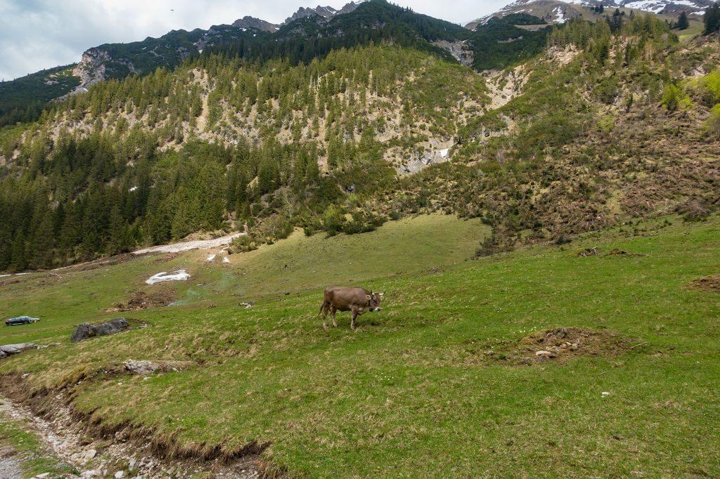 Kuh im Kleinwalsertal